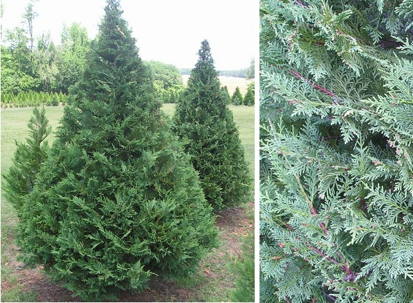 this is the tree most people refer to as leyland cypress and is the cultivar most commonly used for christmas trees in landscape they will grow to a - Cypress Christmas Tree